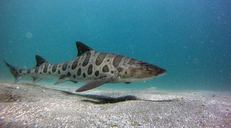 Leopard shark A lovely Leopard Shark sharks