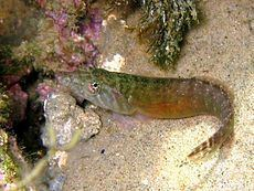 Lepadogaster candolii httpsuploadwikimediaorgwikipediacommonsthu