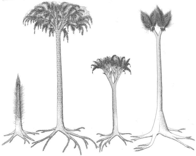Lepidodendrales httpsuploadwikimediaorgwikipediacommons33