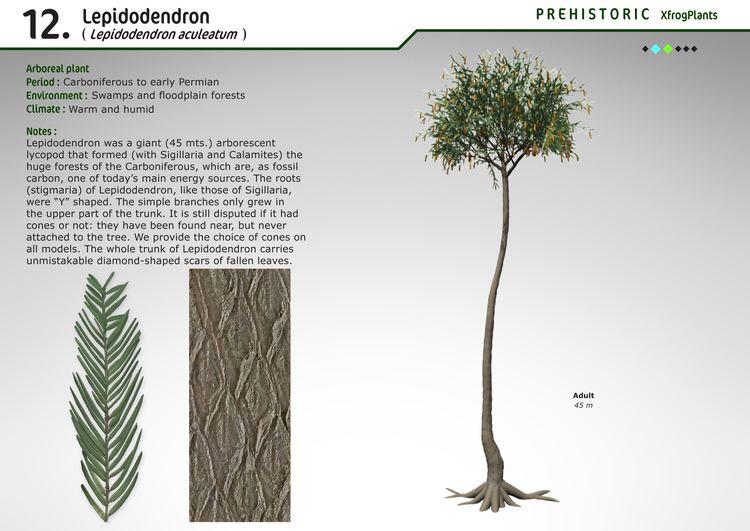 Lepidodendron XfrogPlants Lepidodendron Xfrogcom