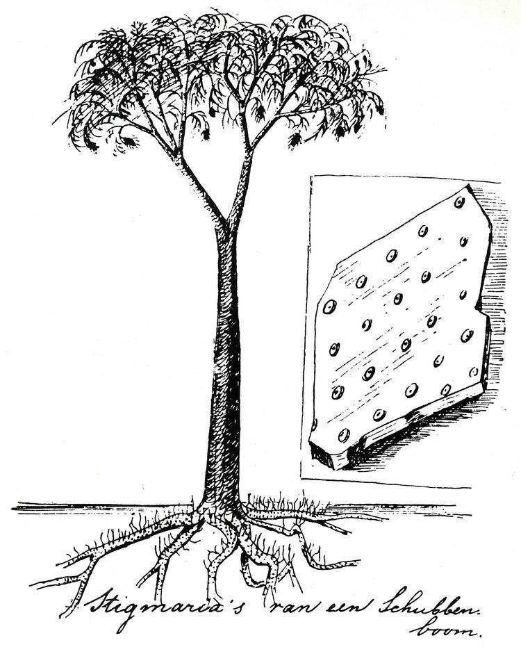 Lepidodendron httpsuploadwikimediaorgwikipediacommonsbb