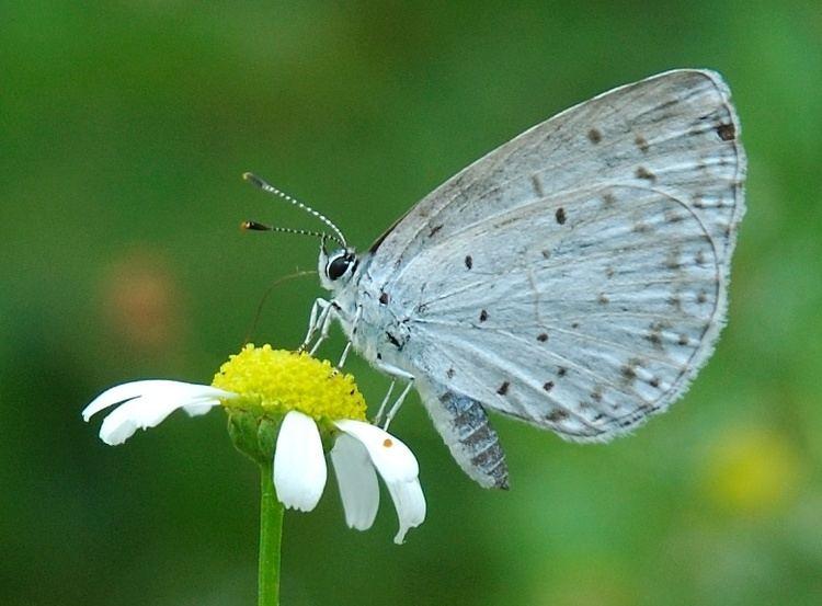 Lepidoptera Amphiesmenoptera Wikipedia
