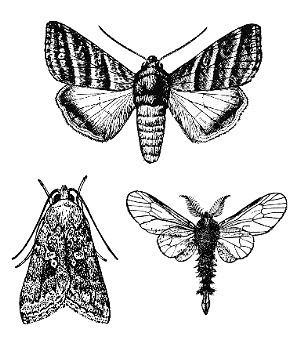 Lepidoptera httpsprojectsncsueducalscourseent425image