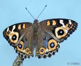 Lepidoptera Lepidoptera moths butterflies