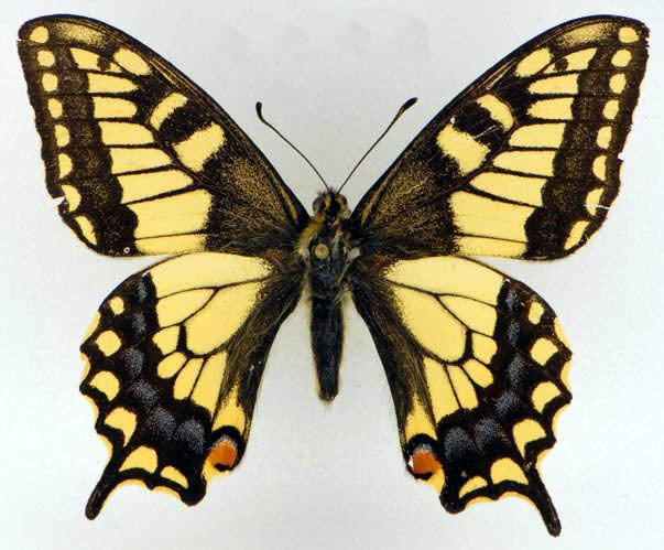 Lepidoptera Description of Families of LEPIDOPTERA