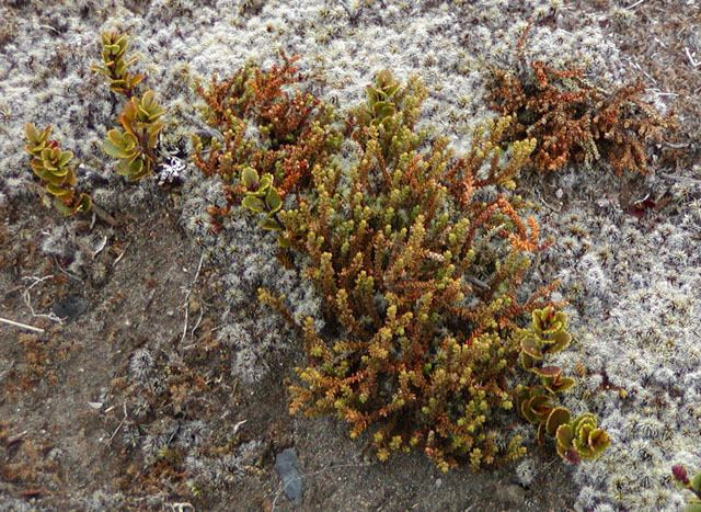 Lepidothamnus Lepidothamnus laxifolius mountain rimu description