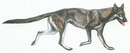 Leptocyon Leptocyon fossil abda
