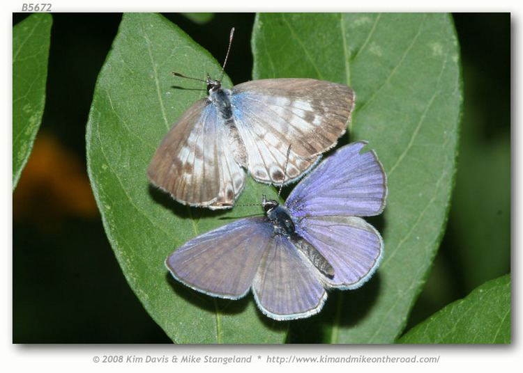 Leptotes cassius Leptotes cassius cassidula live adults page 1