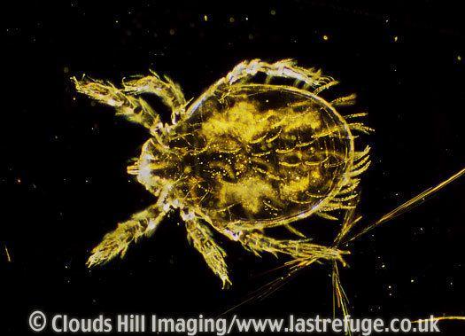 Leptotrombidium Last Refuge Dark Field Light Micrograph LM Scrub Typhus Mite