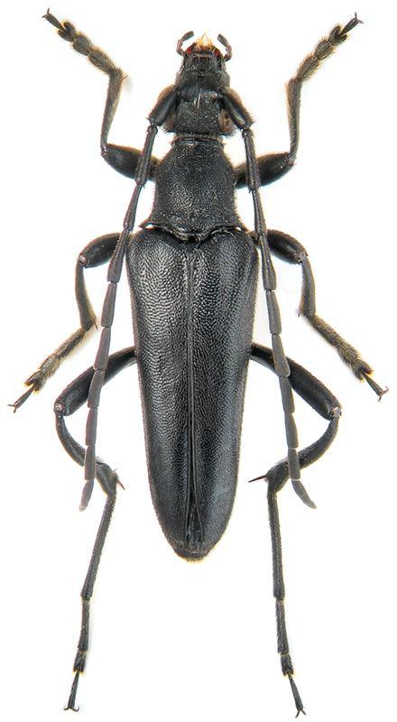 Leptura Genus Leptura Linn 1758 Cerambycidae