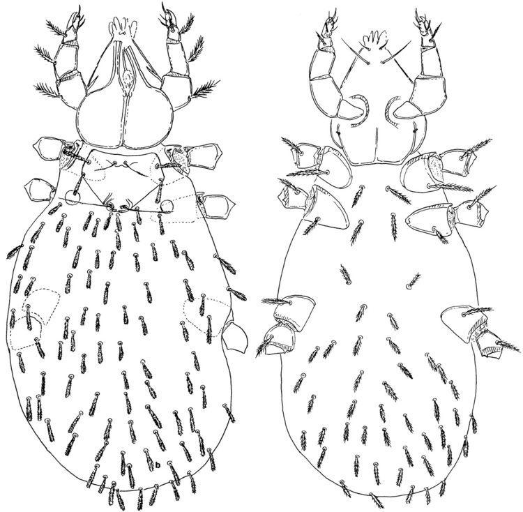 Leptus Leptus monteithi Southcott 1993 family Erythraeidae