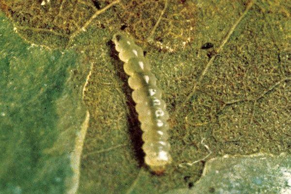 Leucoptera coffeella httpswwwcropsciencebayercommediabcsinte
