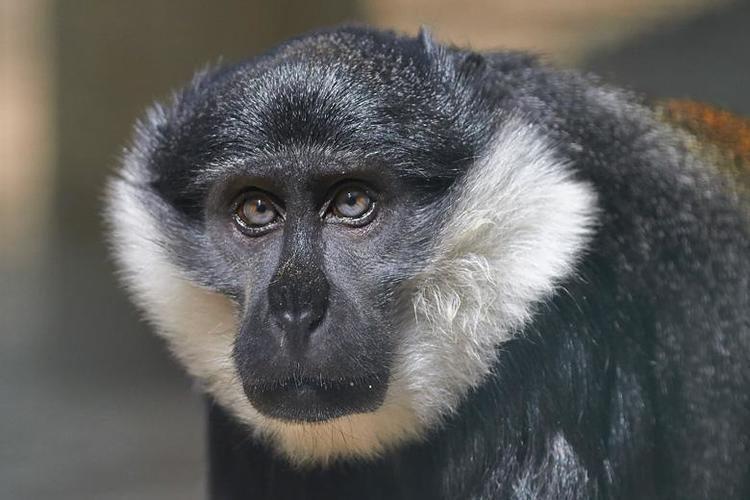 L'Hoest's monkey Cercopithque de l39Hoest Zoo de la Palmyre