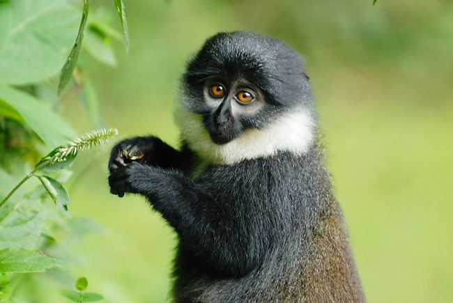 L'Hoest's monkey Bwindi Primates