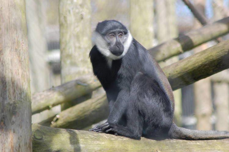 L'Hoest's monkey New Arrivals L39Hoest39s monkey 11 ZooChat
