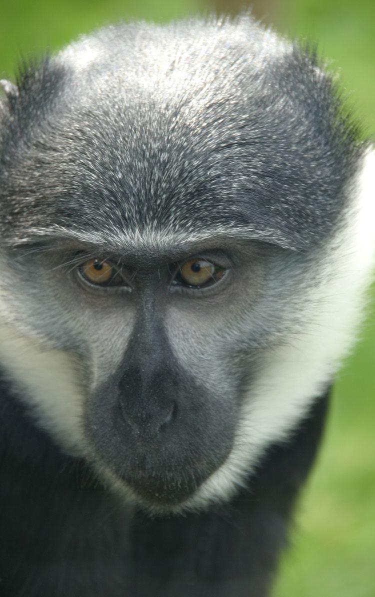 L'Hoest's monkey L39Hoest39s monkey Twycross Zoo