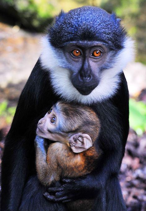 L'Hoest's monkey Endangered Baby L39Hoest39s Monkey ZooBorns