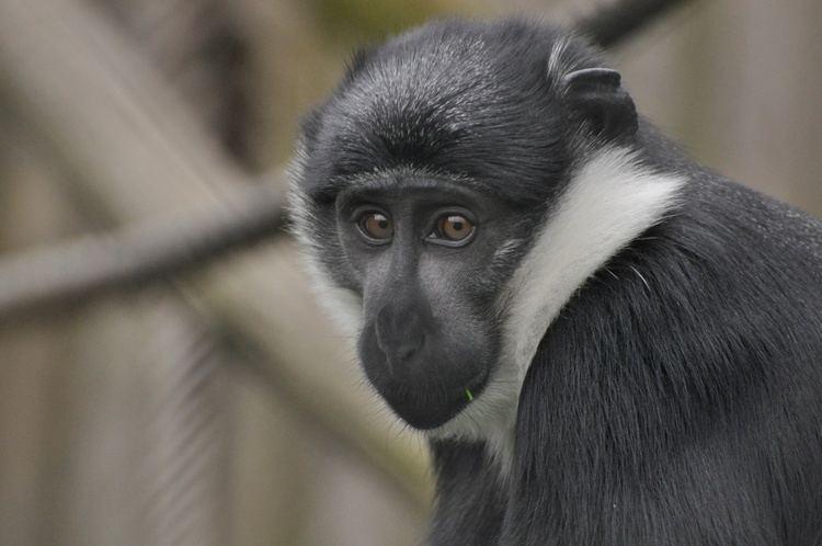 L'Hoest's monkey httpstwycrosszooorgwpcontentuploads201403