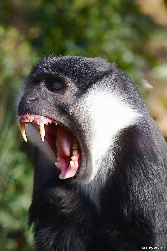 L'Hoest's monkey Cercopithecus lhoesti L39Hoest39s monkey