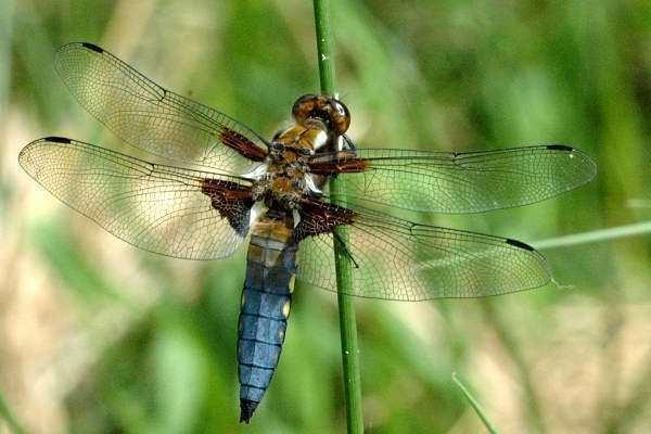 Libellula depressa wwwcommanstereucommansterInsectsDragonfliesS