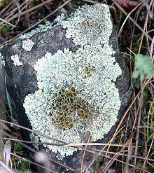 Lichen httpsuploadwikimediaorgwikipediacommonsthu