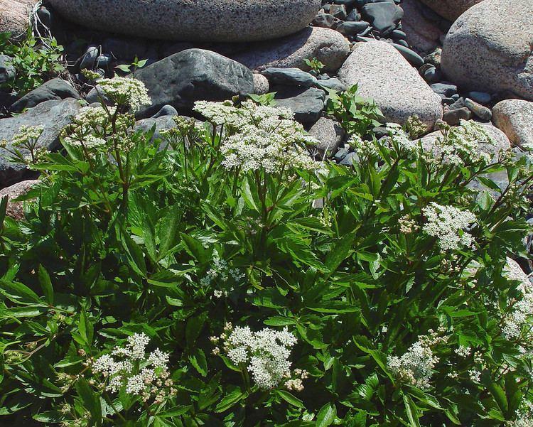 Ligusticum scoticum httpsnewfss3amazonawscomtaxonimages1000s1