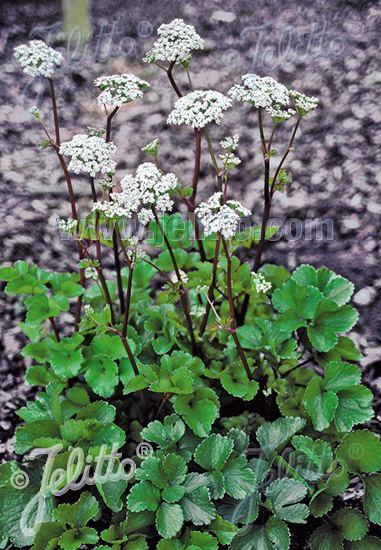 Ligusticum scoticum Jelitto Perennial Seed LIGUSTICUM scoticum Portions