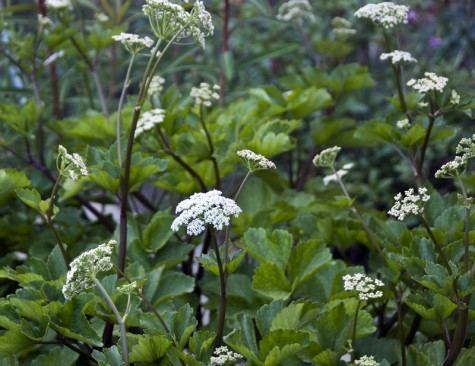 Ligusticum scoticum Ligusticum scoticum Great Dixter