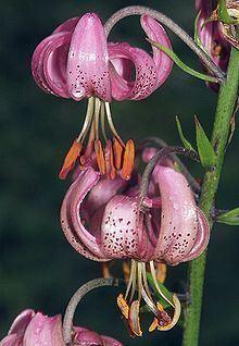 Liliales httpsuploadwikimediaorgwikipediacommonsthu