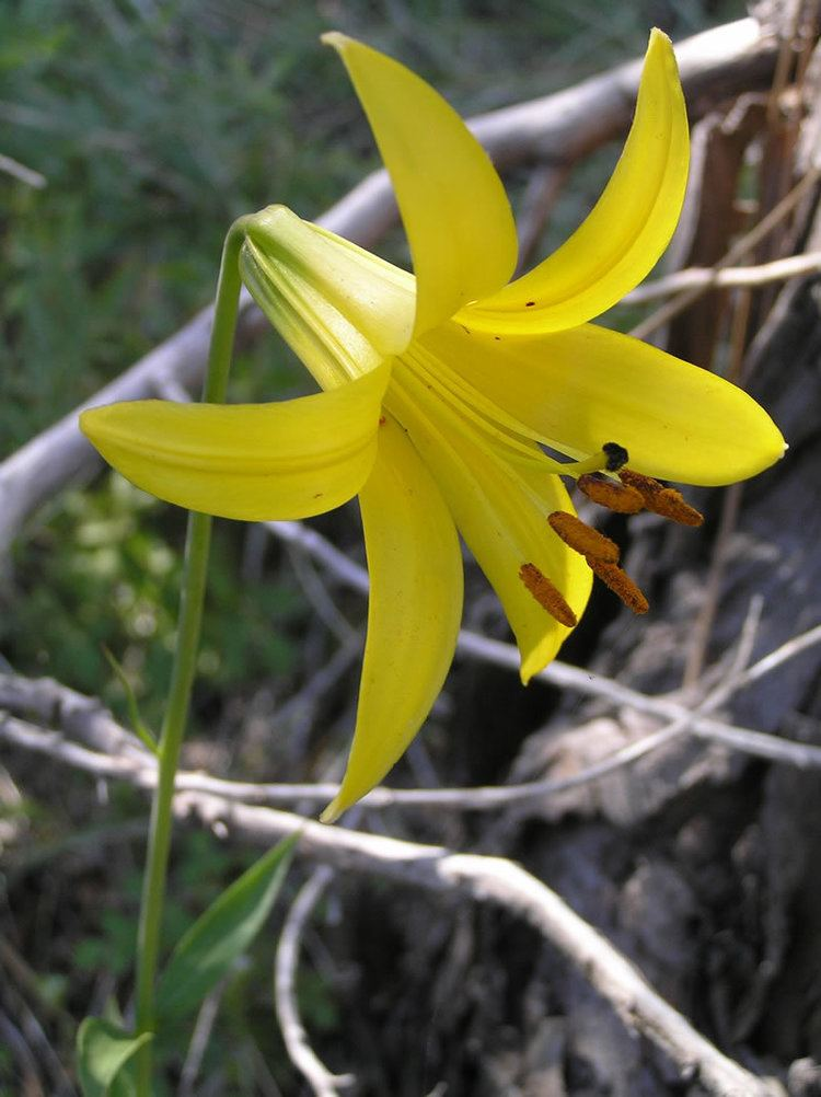 Lilium parryi FileLemon lily lilium parryi lgjpg Wikimedia Commons