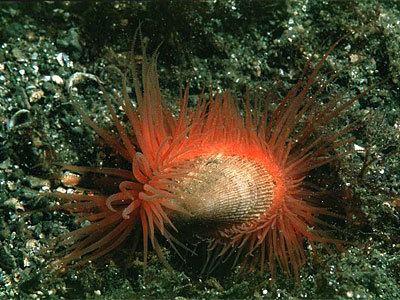 Limaria Limaria hians Marine Life Encyclopedia