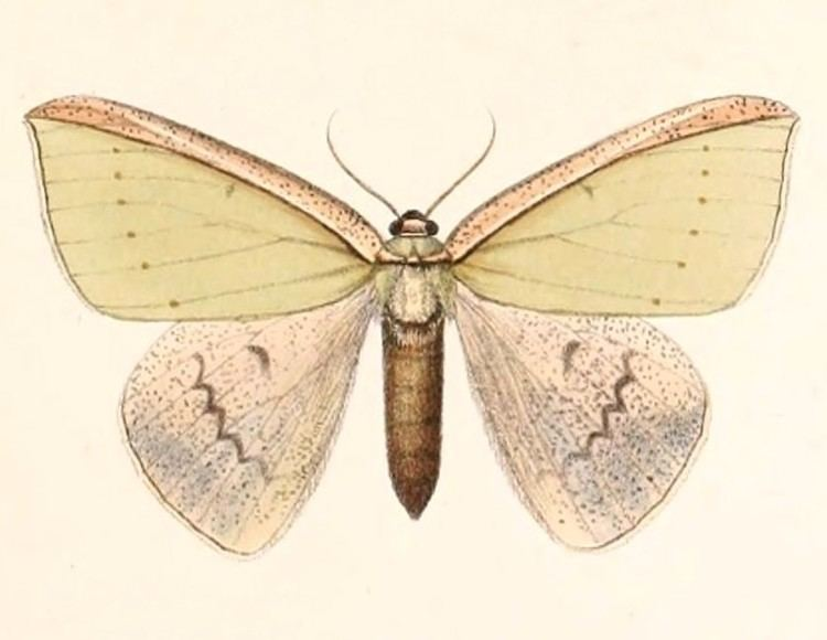 Limbatochlamys rosthorni