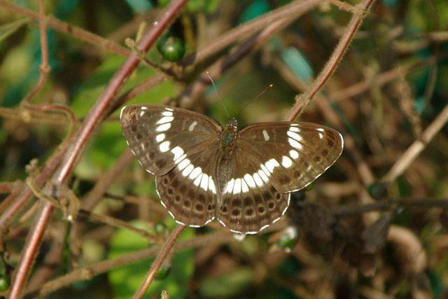 Limenitis glorifica httpsuploadwikimediaorgwikipediacommons99