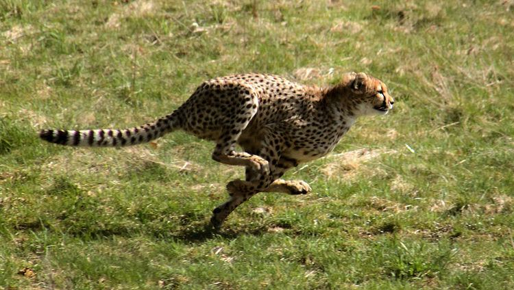 Limitations of animal running speed