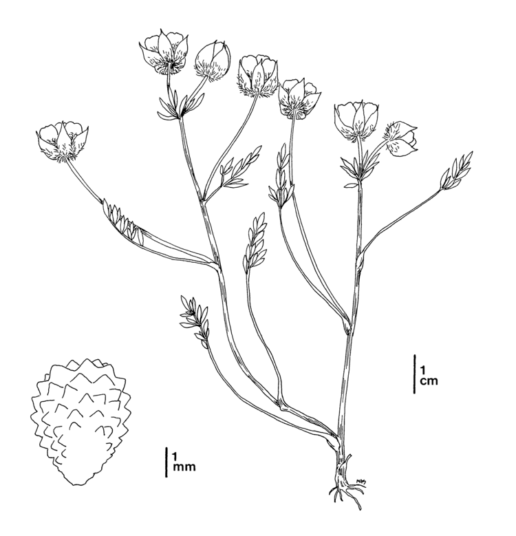 Limnanthes floccosa httpsnrmdfgcagovFileHandlerashxDocumentID