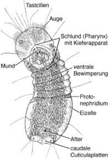 Limnognathia Limnognathia Lexikon der Biologie Spektrum der Wissenschaft