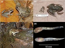Limnonectes Limnonectes larvaepartus Wikipedia