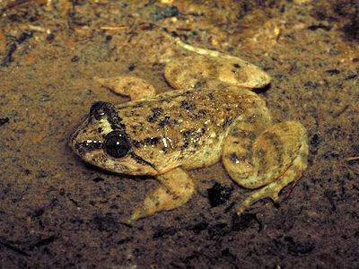 Limnonectes Kuhl39s Creek Frog Limnonectes kuhlii
