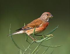 Linaria (bird) httpsuploadwikimediaorgwikipediacommonsthu