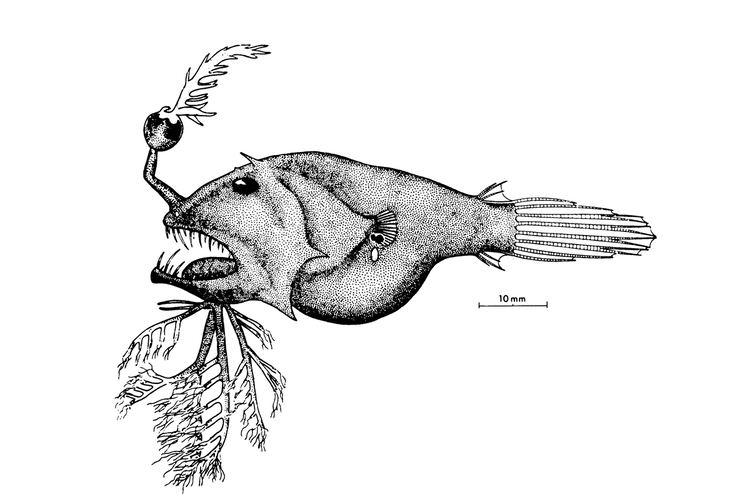 Linophryne Linophryne