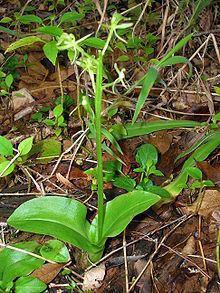Liparis hawaiensis httpsuploadwikimediaorgwikipediacommonsthu