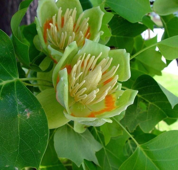 Liriodendron Liriodendron tulipifera tuliptree Go Botany