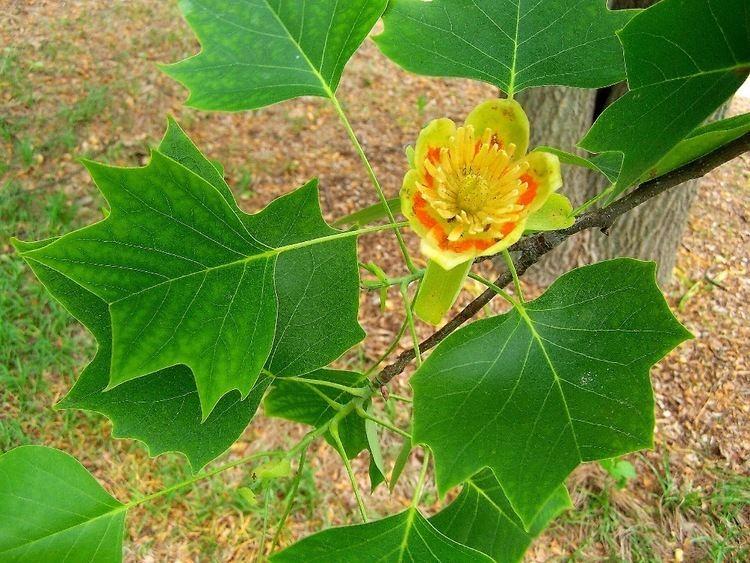 Liriodendron httpsuploadwikimediaorgwikipediacommons00