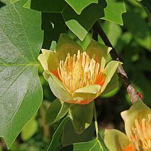 Liriodendron Liriodendron tulipifera Wikipedia