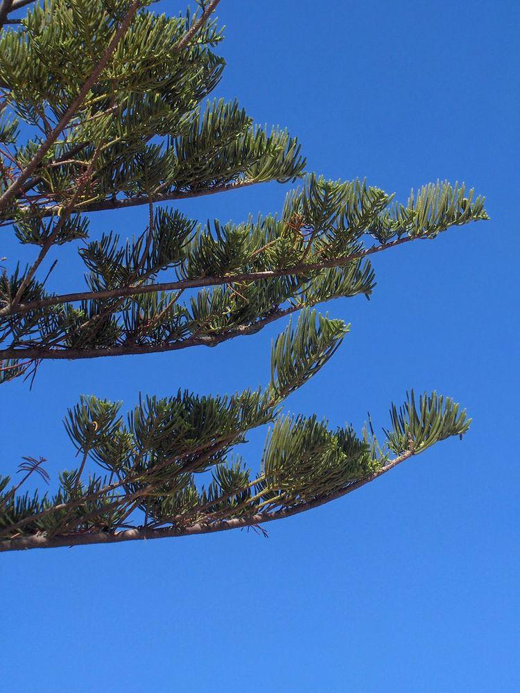List of vascular plants of Norfolk Island