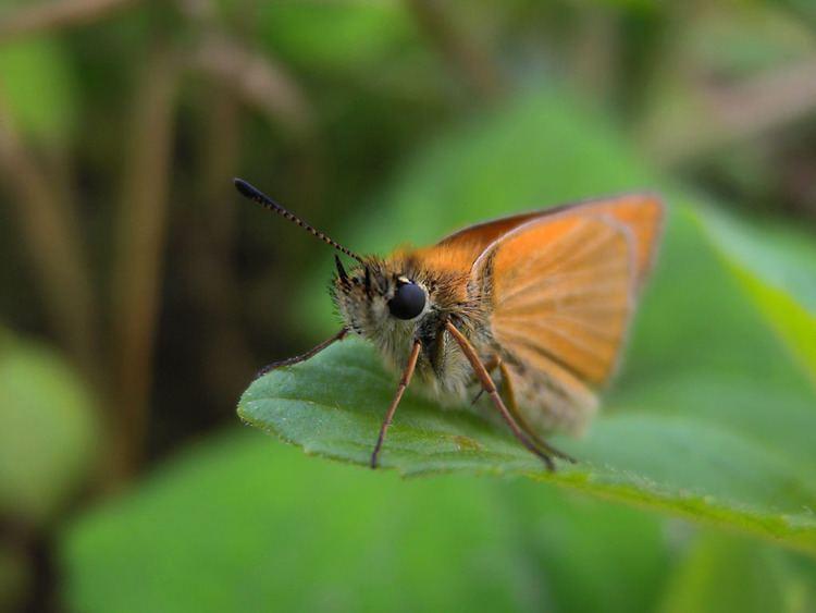 Little Moth Little moth with orange wings 1024x768