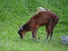 Little red brocket httpsuploadwikimediaorgwikipediacommonsthu