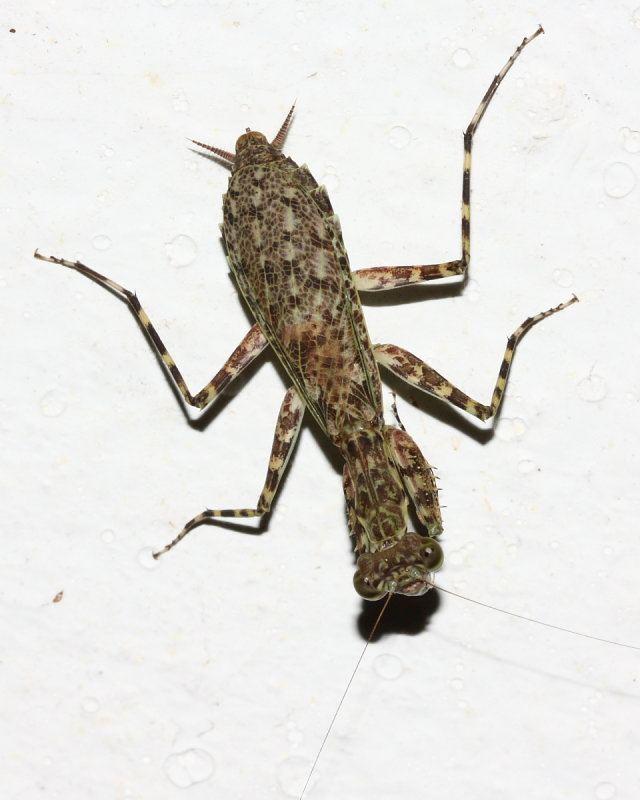 Liturgusidae Bark Mantis Liturgusa sp Liturgusidae photo Stephen Luk photos