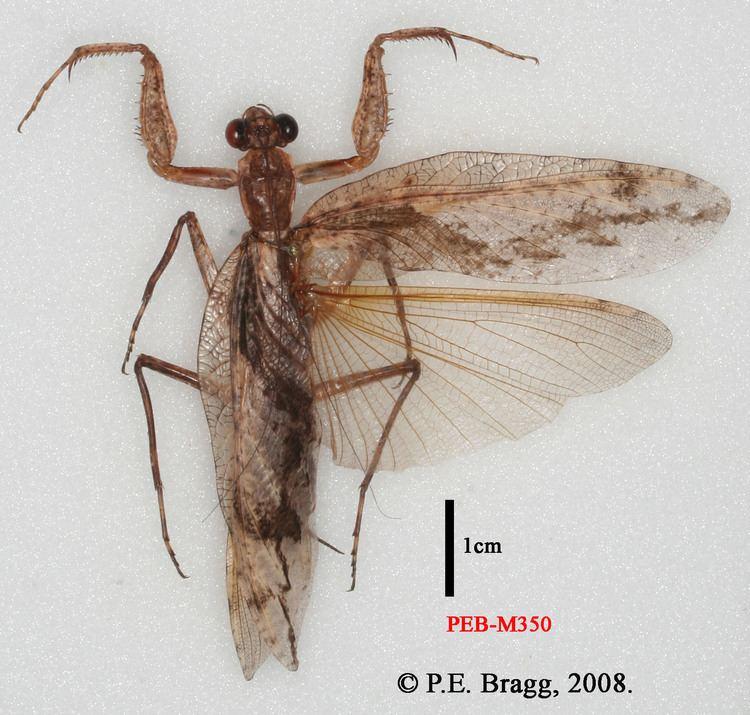 Liturgusidae Species Mantis Study Group