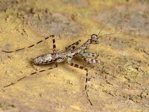 Liturgusidae Flickriver Most interesting photos tagged with liturgusidae